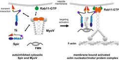 A model of a coordinated assembly of the Spir/FMN F-actin nucleator complex and myosin V motor proteins at Rab11 vesicle membranes.