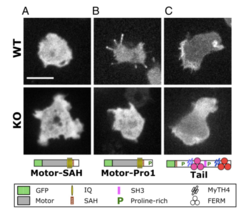 The head and tail of DdMyo7 are required for filopod formation.