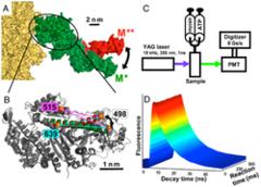 Structural Kinetics of Myosin By Transient Time-Resolved FRET